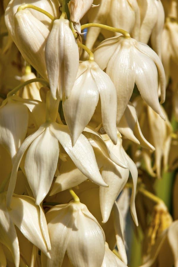 Weiße Yucca-Kaktus-Blumen stockfoto. Bild von blumen - 20942192