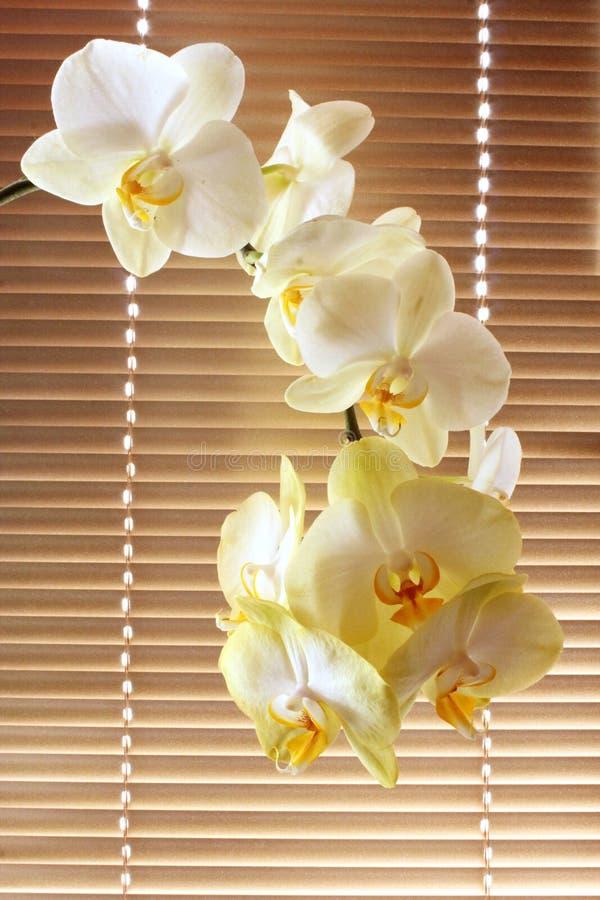 Weiße zarte Orchidee lizenzfreies stockbild