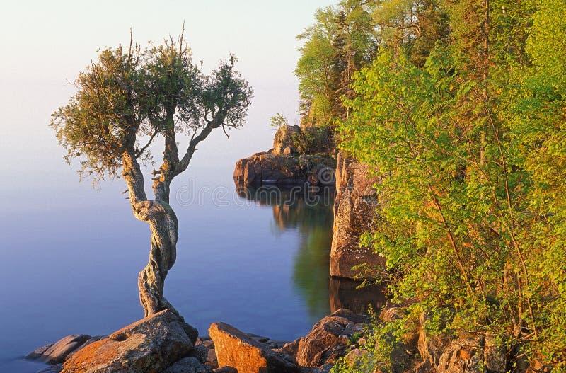 Weiße Zeder-Baum stockbilder