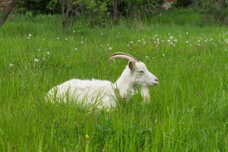 Weiße Ziege stockfotografie