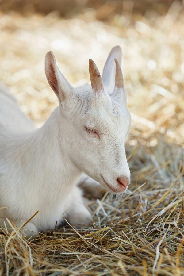 Weiße Ziege, die im trockenen Gras liegt lizenzfreie stockfotografie