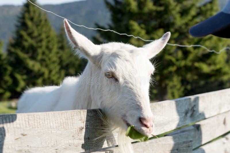 Weiße Ziege schaut über dem Zaun stockbilder