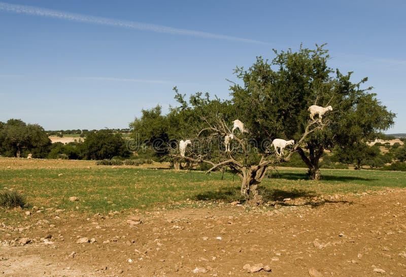 ziegen die in arganbaum einziehen marocco redaktionelles