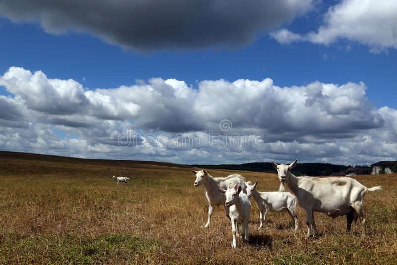 Weiße Ziegen mit Kinder lassen weiden stockfotos