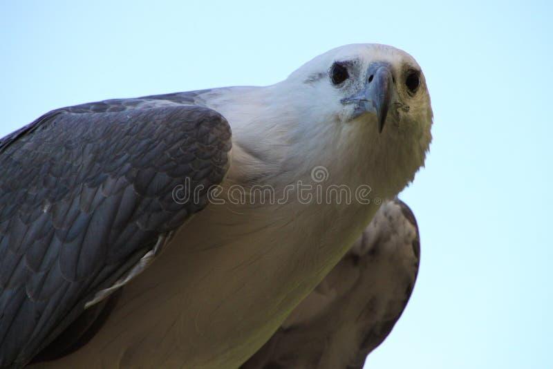 Download Weißer Adler stockbild. Bild von wildnis, schnabel, australien - 9095711