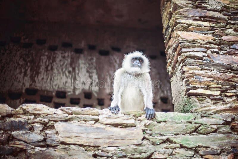 Weißer Affe stockfotografie