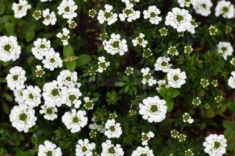 Weißer Alyssum im Garten stockfoto