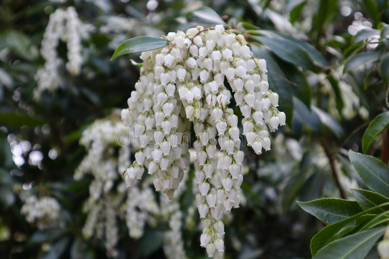 Weißer Andromeda Flowers im Garten stockfotografie