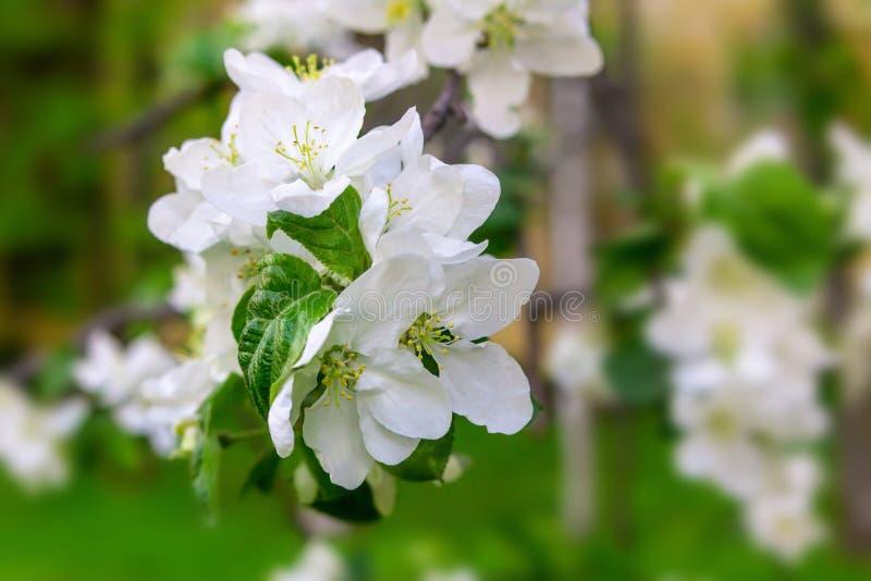 Weißer Apfel blüht Obstbaum-Nahaufnahmekopienraum auf einem unscharfen Gartenhintergrundsonnenlicht stockfotos