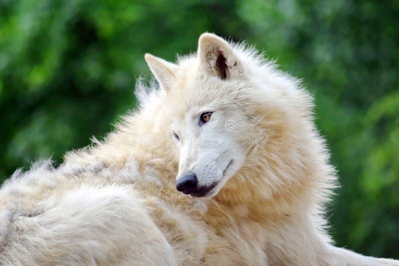 Weißer arktischer Wolf Lying in Forest Portrait lizenzfreies stockbild
