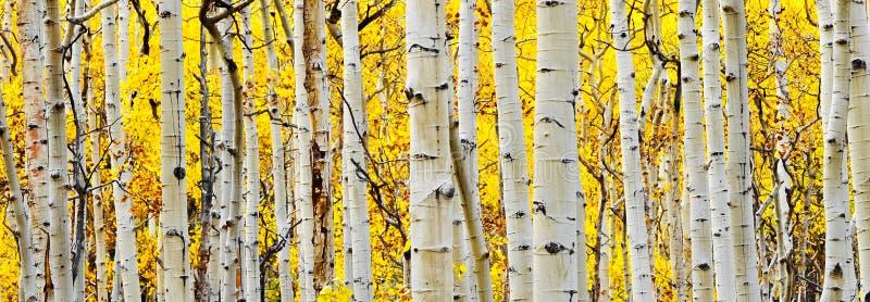 Weißer Aspen-Baum-Kabel stockbild