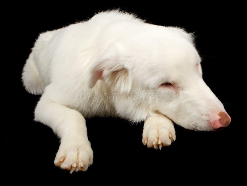 Weißer australischer Schäferhund-Hund, der traurig schaut lizenzfreies stockbild