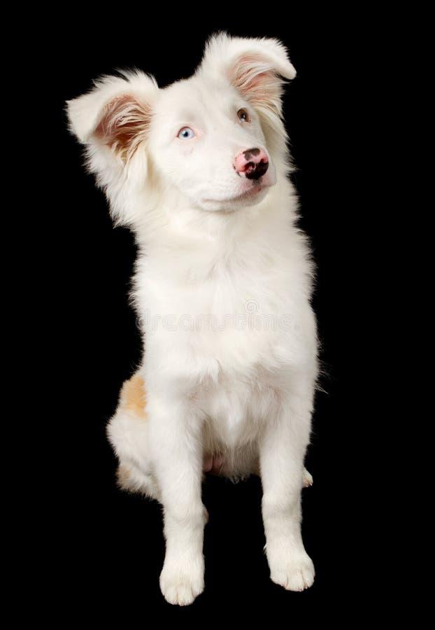 Weißer australischer Schäferhund-Welpe lizenzfreies stockbild