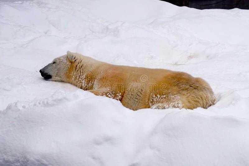 Weißer Bär im Schnee in Zoo Sapporos Maruyama, Hokkaido Japan stockbilder