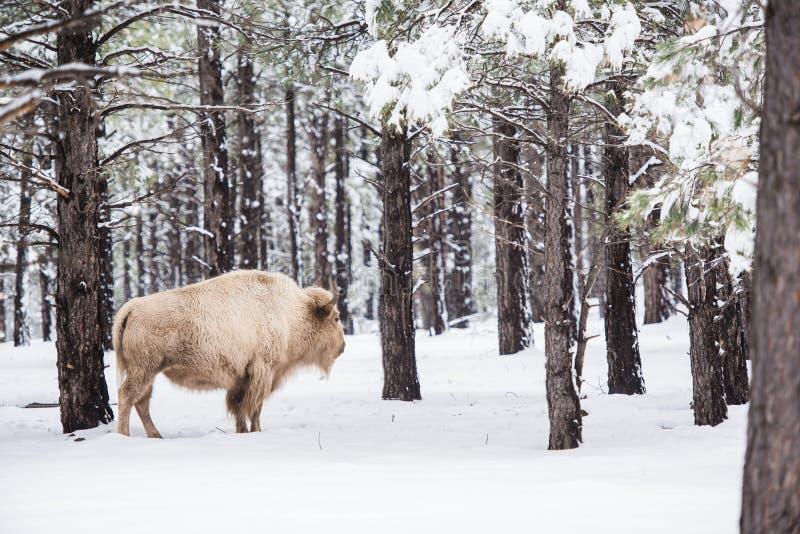 Weißer Büffel im Wald lizenzfreies stockfoto