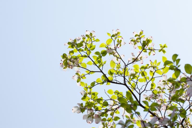 Weißer Baum Des Blühenden Hartriegels (Kornelkirsche Florida) In Der ...