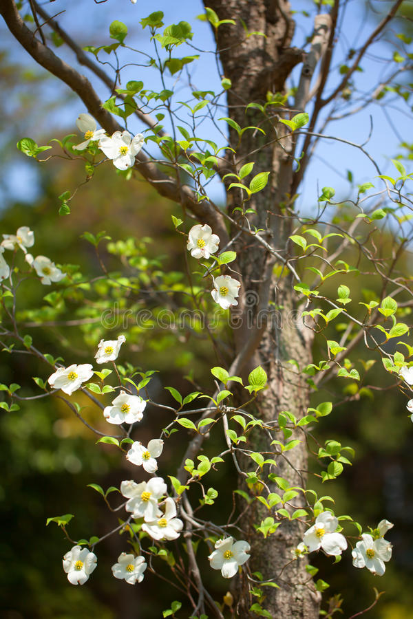 Weißer Baum Des Blühenden Hartriegels (Kornelkirsche Florida), Japan ...