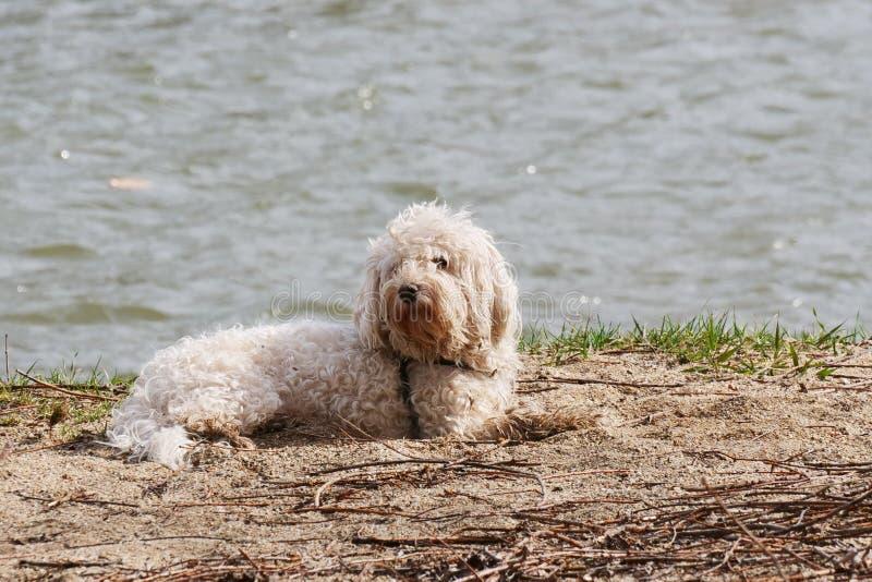 Weißer bichon frise Hund, der in den Sand auf die Flussbank legt stockfoto