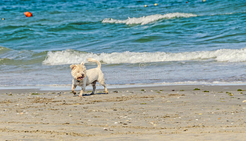 Weißer bishon Hund, der auf den Strand nahe Wellen des blauen Wassers geht lizenzfreie stockfotos