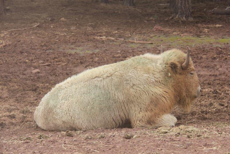 Weißer Bison mit Hörnern unten lizenzfreie stockfotografie