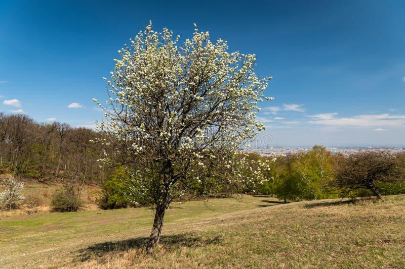Weißer Blütenbaum an einem sonnigen Frühlingstag lizenzfreies stockbild