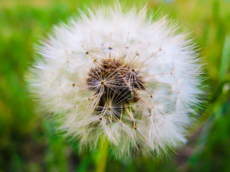 Weißer Blowball auf grünem Hintergrund stockfotografie