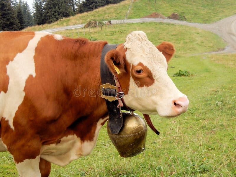 Weißer brauner Kuhkopf des Porträts mit große Kuhglocke österreichischen Tiroler Alpen lizenzfreie stockfotos