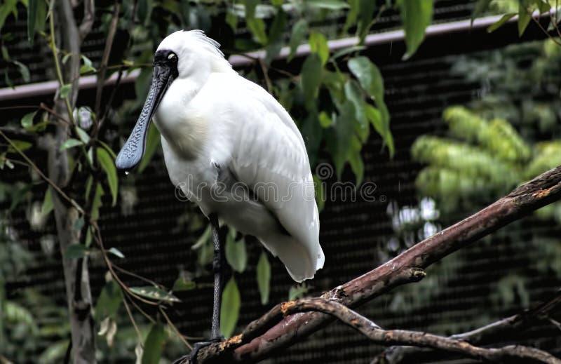 Weißer Broadbill-Vogel stockfoto