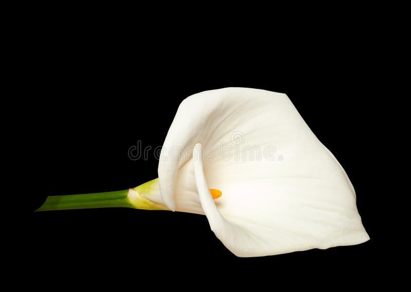 Weißer Calla lokalisiert auf Schwarzem stockfotografie