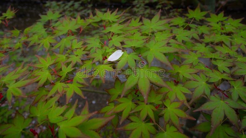 Weißer Cherry Blossom Petal auf Ahornblättern stockfotos
