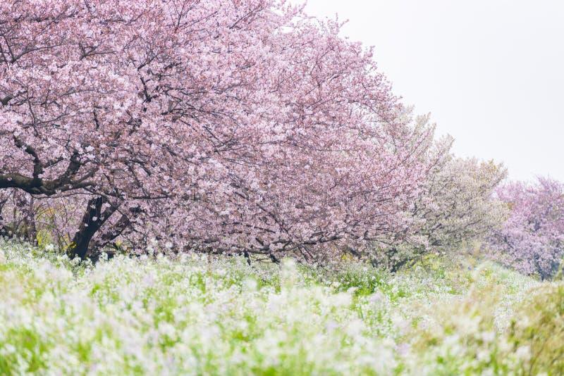 Weißer Cherry Blossom Sakura füllt den Frühling von Tama-Fluss in Ja lizenzfreie stockfotos