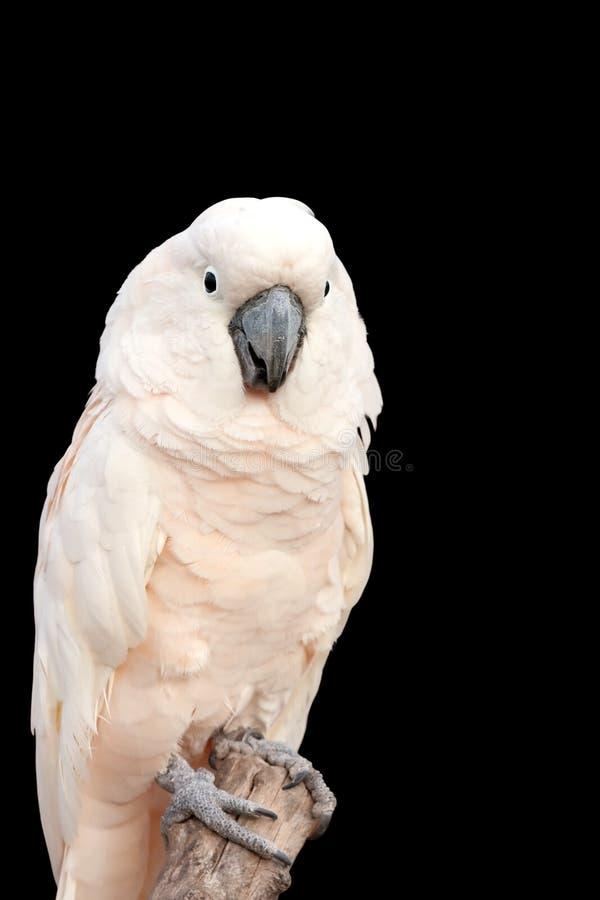 Weißer Cockatoo stockfotos