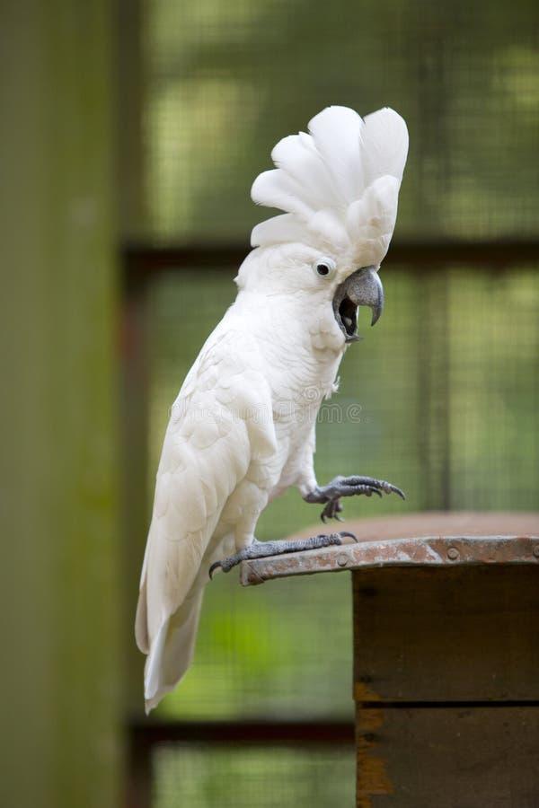 Weißer Cockatoo-Papagei stockbilder