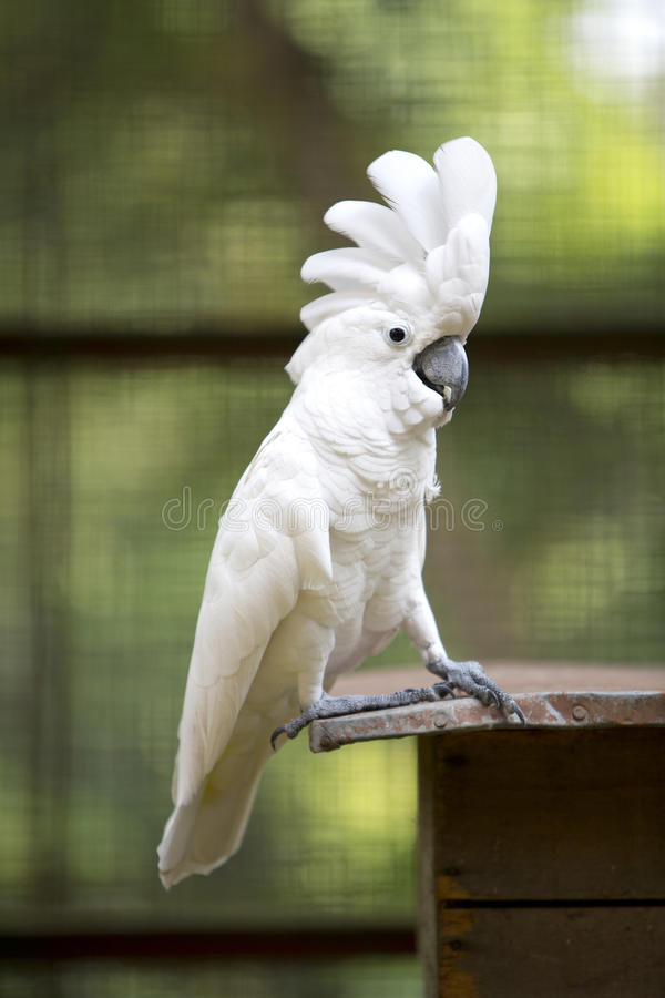 Weißer Cockatoo-Papagei lizenzfreies stockfoto