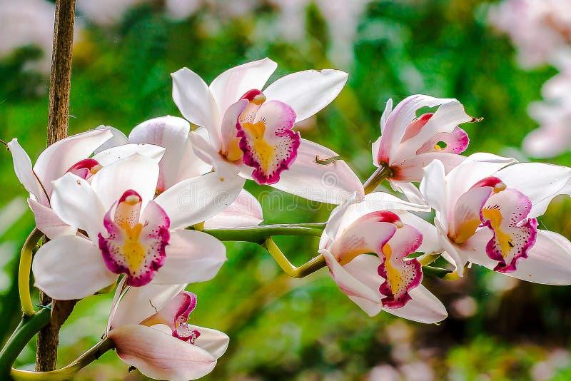 Weißer Cymbidium ist eine Orchidee stockfotos