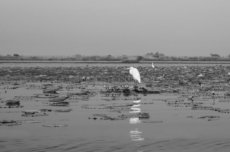 Weißer Egret-Vogel im Lotus-See Nong Harn in Udonthani - Thailand lizenzfreie stockbilder