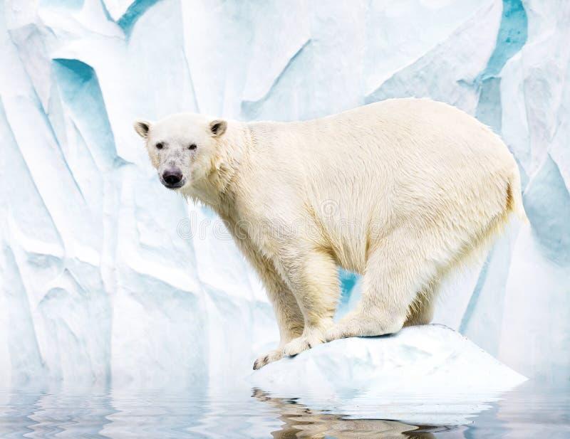 Weißer Eisbär lizenzfreie stockfotos