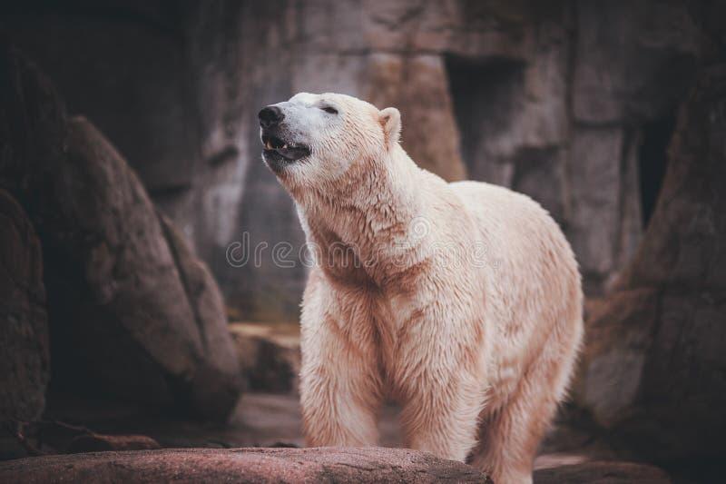 Weißer Eisbär-Jäger auf dem Felsen stockfotografie