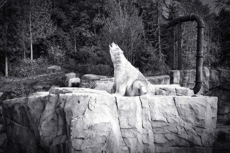 Weißer Eisbär-Jäger - sitzend stockfotos