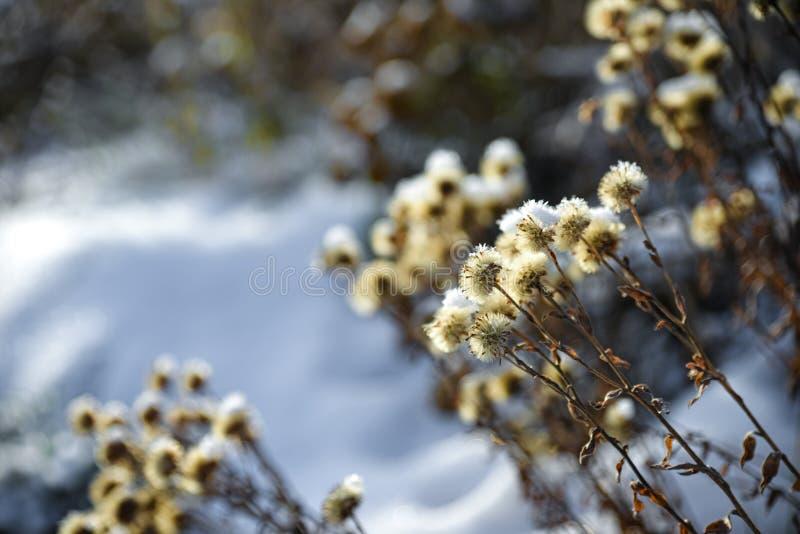 Weißer Eiskristall auf trockener Blume im Winter auf einem Schneefeld, Spokane, Washington, Vereinigte Staaten lizenzfreies stockbild