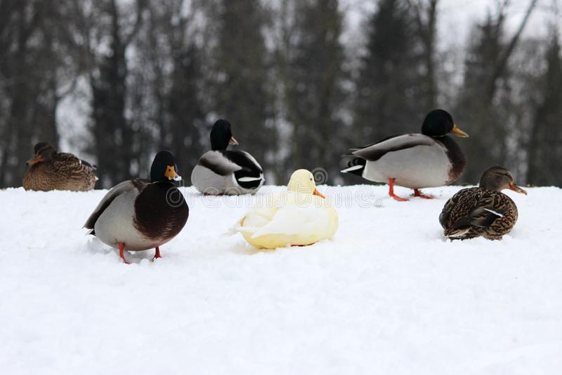 Weißer Entenenterich als Variabilität innerhalb der Spezies Anekdoten platyrhynchos im Gatchina-Park Wunder der Verkleidung lizenzfreies stockfoto