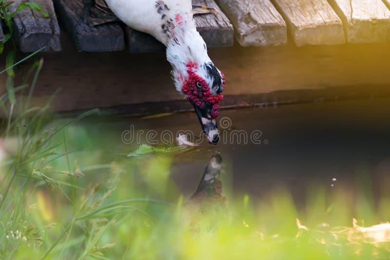 Weißer Entenlebensraum stockbilder