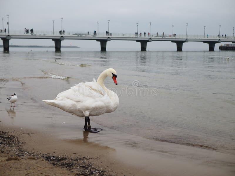 Weißer erwachsener Schwan auf Strand durch Meer stockfoto