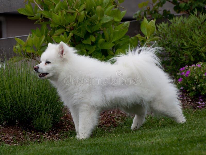 Weißer Eskimozucht-Hund lizenzfreie stockfotografie