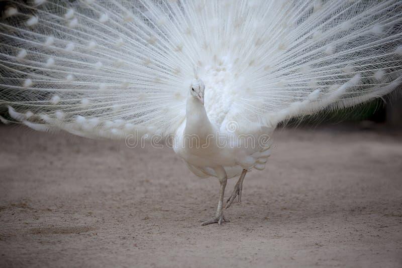 Weißer Fasan mit dem schönen Fanendstück, das auf Schmutzfeld steht lizenzfreie stockbilder