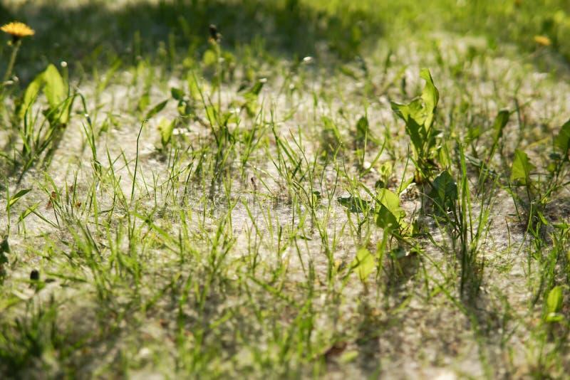 Weißer Flaum liegt auf dem grünen Gras stockfoto