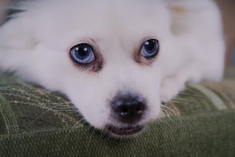 Weißer flaumiger Hund, der auf der Couch und sehr dem vorsichtigen Schauen zur Seite liegt stockfotos