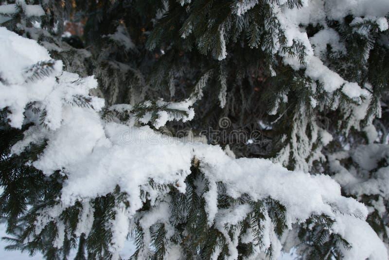 Weißer flaumiger Schnee liegt auf Tannenzweigen stockfotos