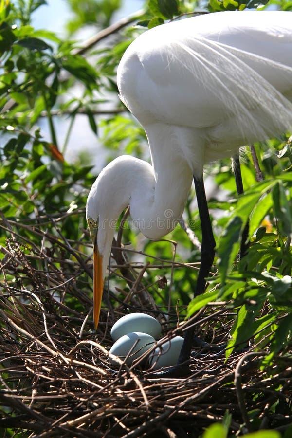 Weißer Florida-Reiher stockfoto
