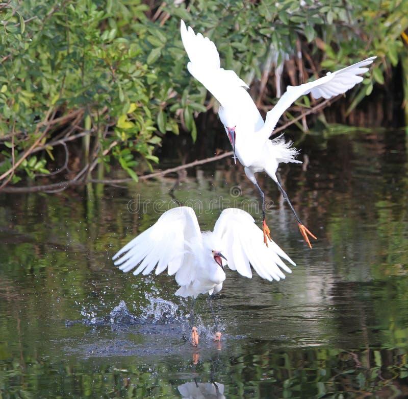 Weißer Florida-Reiher stockbild